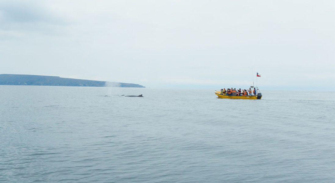 soplido ballena jorobada. navegacion isla chañaral